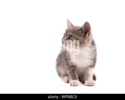 Gray cat isolated on a white background. Portrait of a cute kitten - Stock Photo