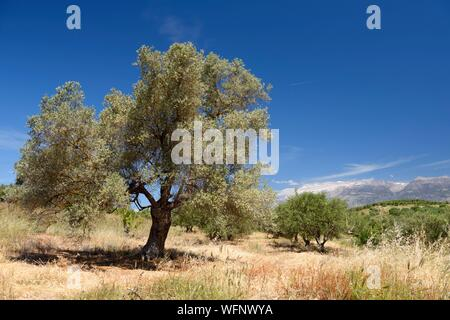 Greece, Crete, Phaistos, olive trees planted in the plain of Messara with in the background Mount Ida (or Mount Psiloritis) 2,456 meters high - Stock Photo