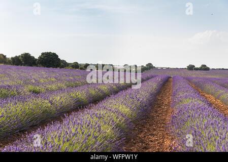 Lavender fields in Brihuega, Spain - Stock Photo