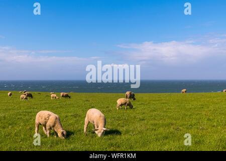 France, Pas de Calais, Opal Coast, Great Site of the two Caps, sheep on the site of Cap Gris Nez - Stock Photo