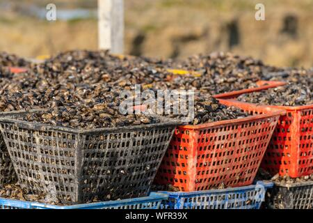 France, Somme, Baie de Somme, Natural Reserve of the Baie de Somme, Le Crotoy, Maye Beach, mussel farmers return in a tractor from the beach where they raise the mussels - Stock Photo