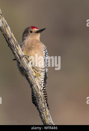 Gila Woodpecker (Melanerpes uropygialis) Sonoran Desert, Southern Arizona, USA - Stock Photo
