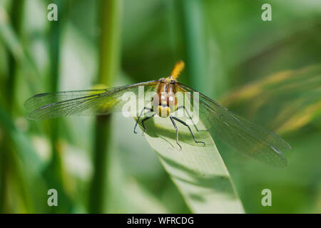 Common Darter Dragonfly resting on leaf - Stock Photo