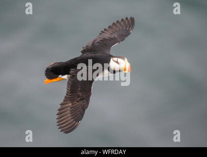 Horned Puffin of Saint Paul Island, Alaska - Stock Photo