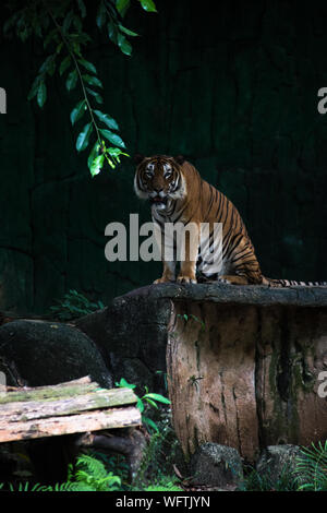 Tiger Sitting On Rock At Zoo - Stock Photo