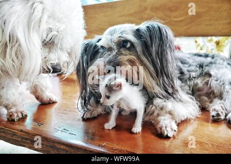 Close-up Of Dogs With Kitten On Hardwood Floor - Stock Photo