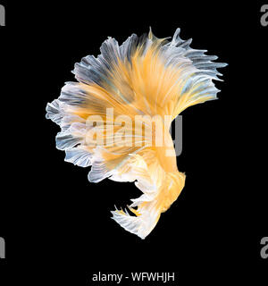 Close up art movement of Betta fish,Siamese fighting fish isolated on black background.Fine art design concept. - Stock Photo