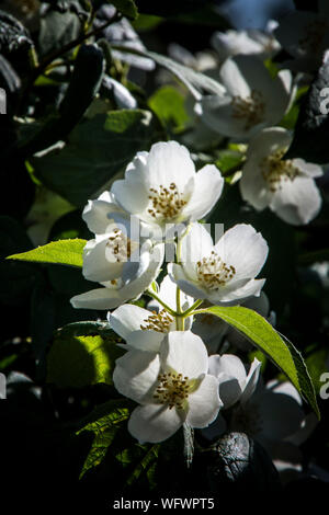 Close-up Of White Flowers Blooming On Tree - Stock Photo