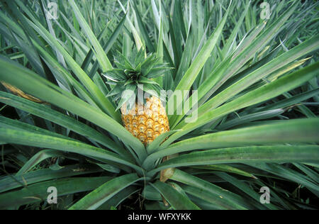 Close-up Of Pineapple Growing On Plant - Stock Photo