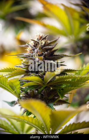 Detail of cannabis flower (purple queen hybrid strain) growing indoors - medical marijuana cultivationc oncept - Stock Photo