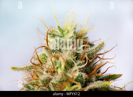Macro detail of Cannabis flower (white critical strain) with visible trichomes, medical marijuana concept - Stock Photo