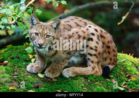 Portrait Of Young Lynx - Stock Photo