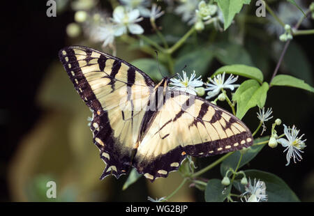 Closeup of Tiger Swallowtail butterfly ( Papilio glaucus ) nectaring on flowers in Ontario,Canada