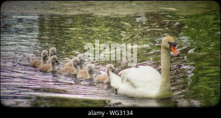 Swan Family Swimming In Lake - Stock Photo