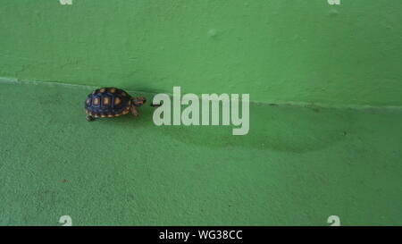 Close-up Of Turtle Walking On Green Painted Ground And Wall - Stock Photo