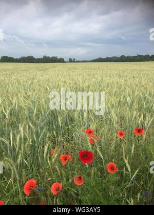 Poppies Growing In Field Against Sky - Stock Photo