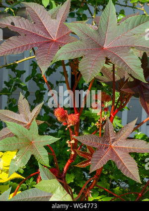 Castor oil plant (Ricinus communis 'Carmencita'). Leaves, stems and fruits. Sedgwick Gardens on Long Hill estate, in Beverly, MA - Stock Photo
