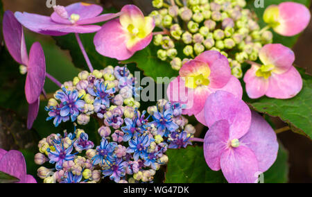 Hydrangea macrophylla 'Blueberry Cheesecake' - a lacecap hydrangea in flower. Sedgwick Gardens on Long Hill estate, in Beverly, MA - Stock Photo