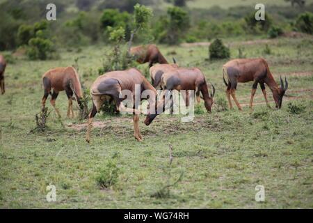 Wildebeests Walking On Grassy Field At Masai Mara - Stock Photo