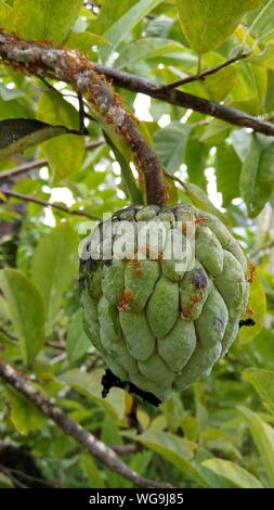 Close-up Of Red Ants On Custard Apple Hanging From Branch - Stock Photo