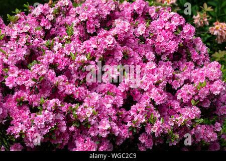 Pink Japanese Azalea on the branch in the garden - Stock Photo