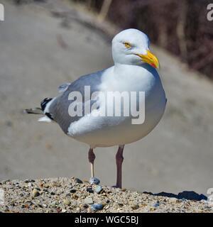 Single european herring gull on heligoland - island Dune - North beach - Larus argentatus - Stock Photo