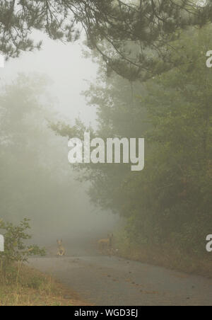 Dogs On Road By Trees During Foggy Weather - Stock Photo