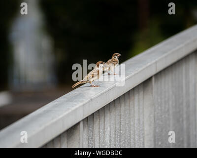 A pair of Eurasian tree sparrows, passer montanus, sit on the railing of a bridge over the Saza River in Nagasaki Prefecture, Japan - Stock Photo