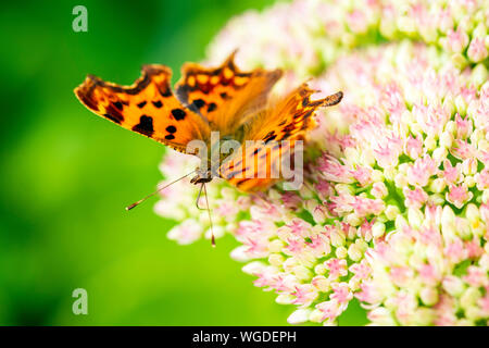 Comma butterfly UK feeding on a sedum flower. Polygonia c-album with its tongue probing flowers. - Stock Photo