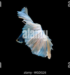 Capture the moving moment of blue siamese fighting fish isolated on black background. Betta fish. - Stock Photo