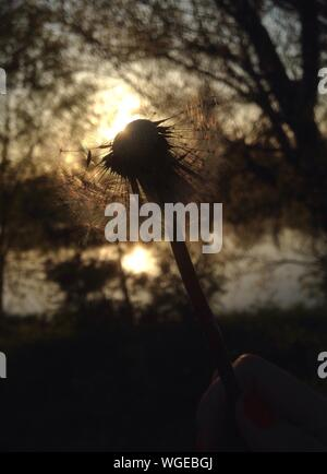 Cropped Image Of Hand Holding Dandelion During Sunset - Stock Photo