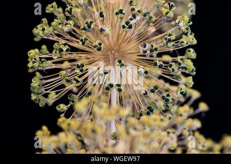Allium seeds - Stock Photo