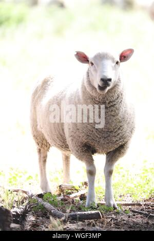 Portrait Of Sheep Standing On Field - Stock Photo
