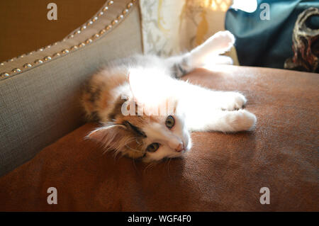 Close-up Of Pampered Cat Lying Down - Stock Photo