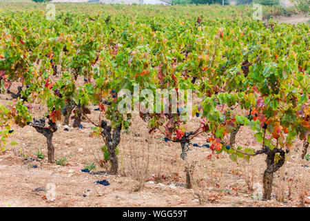 autumn vineyards in Provence, France - Stock Photo