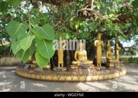 Bodhi tree leaves - Stock Photo