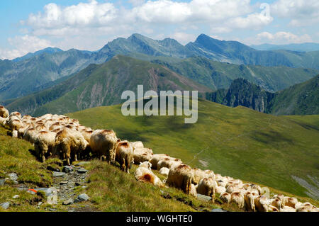 Flock Of Sheep Grazing On Grassy Field - Stock Photo