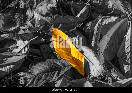 Fallen colorless leaves, among them one bright yellow. Uniqueness, difference, individuality and standing out from the crowd concept