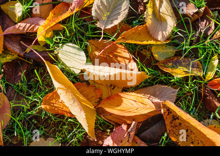 Bright fallen leaves in green grass. Autumn is coming. Top view. - Stock Photo