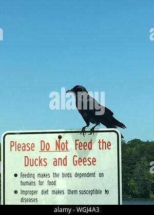 Raven Perching On Information Sign Against Clear Blue Sky - Stock Photo