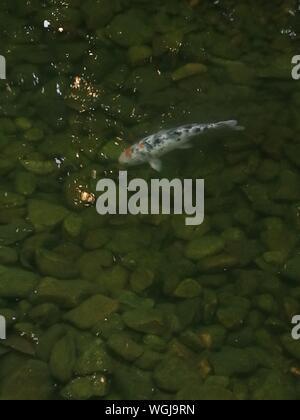 Koi Carp Swimming In Water - Stock Photo