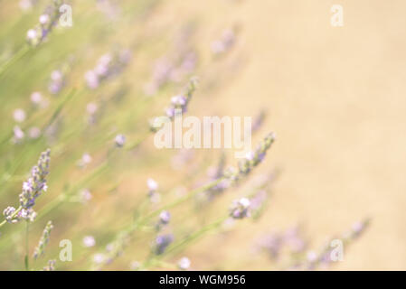 Lavender bushes closeup on sunset. Lavender field closeup. Blooming lavender. Sunset gleam over purple flowers of lavender. - Stock Photo