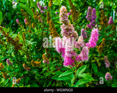 Hardhack steeplebush with colorful flowers in bloom, tropical plant specie from America, Ornamental garden flower, nature background - Stock Photo