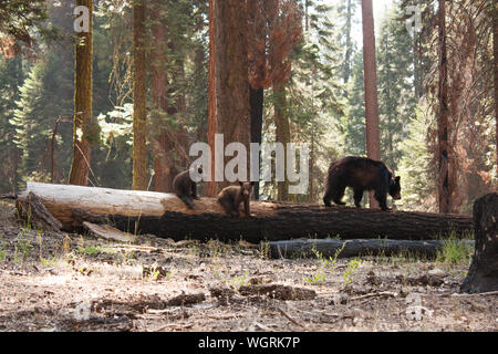 Bear With Cubs On Fallen Tree At Sequoia National Park - Stock Photo