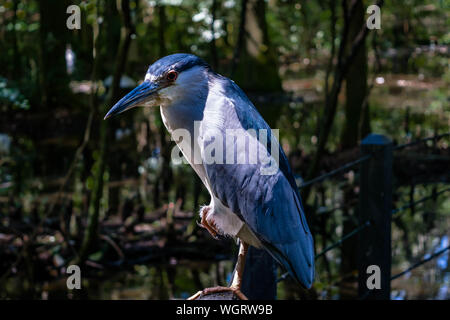 Close-up Of Black-crowned Night Heron In Forest - Stock Photo