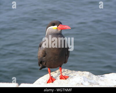Close-up Of Inca Tern Perching On Rock Against Sea - Stock Photo