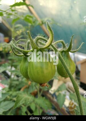 Close-up Of Green Tomatoes Growing On Plant - Stock Photo