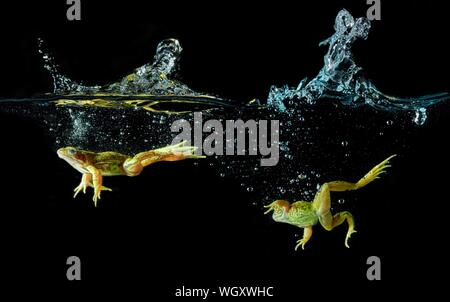 Close-up Of Frogs In Pond Over Black Background - Stock Photo