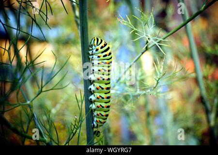 caterpillar of a swallowtail Papilio machaon on fresh green fragrant dill Anethum graveolens in the garden. Garden plant. Caterpillar feeding on dill.
