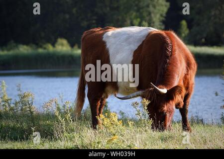 Highland Cattle Grazing On Grassy Field By Lake - Stock Photo